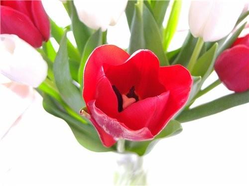 Как же я люблю тюльпаны