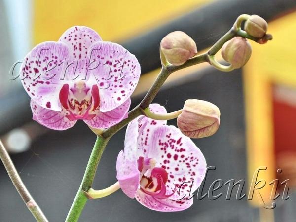 Здесь можно купить и орхидеи - 3