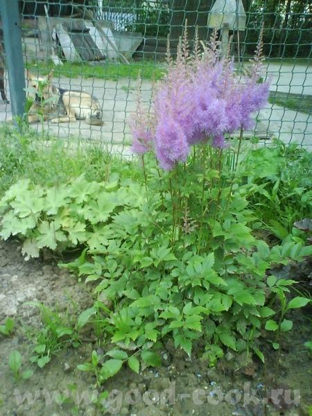 А вот наши садовые цветы : просто летний букет,поднимающий настроение, красавица астильба садовый з... - 2