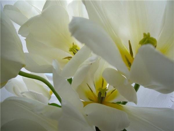 Лар у вас уже поздние цветут, а у нас только начали и черёмуха пошла вот и похолодало - 4