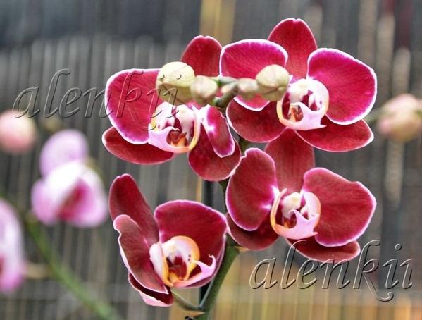 Здесь можно купить и орхидеи - 2