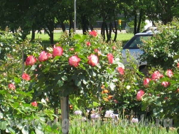 Покажу вам ещё немного цветов рядом со своим домом - 4
