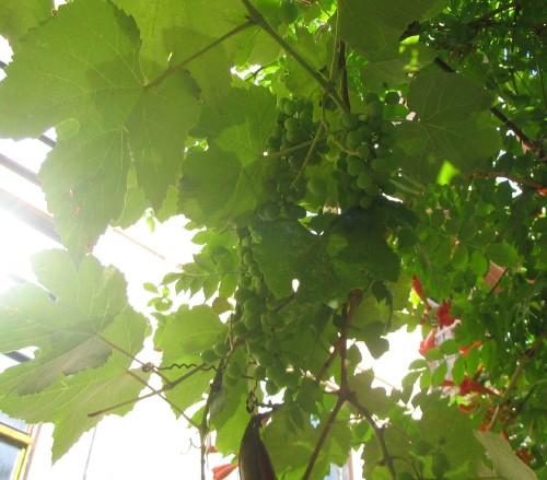 Наши дворы и улицы засажены почти сплошняком только фруктовыми деревьями, спасибо тем, кто это дела... - 2