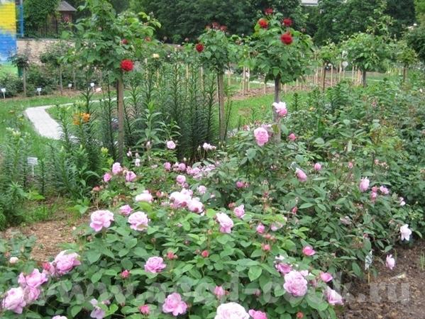 Рядом с моим домом в Садоводческом центре распустились розы - 5