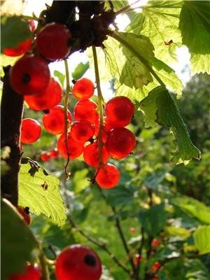 А теперь идем - есть ягоды смородину малину крыжовник и