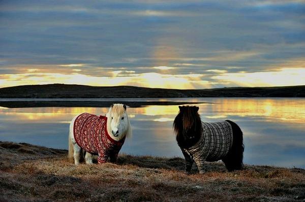 Shetland pony 5