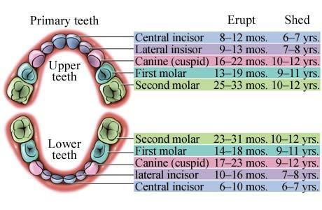 Нашла любопытную диграмму как зубы растут и когда первые выпадают - примерно, но очень наглядно