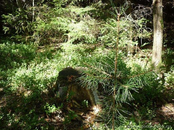 ага, вот с картошечкой ягодка в лесу- ежевика лес был такой - 3