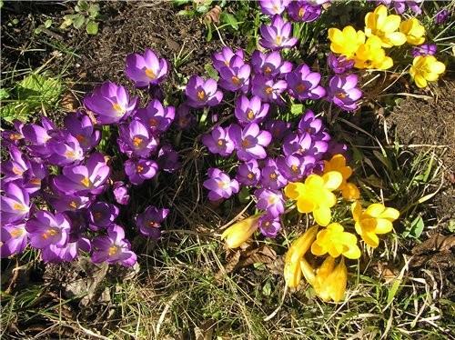 А у нас сейчас цветут крокусы