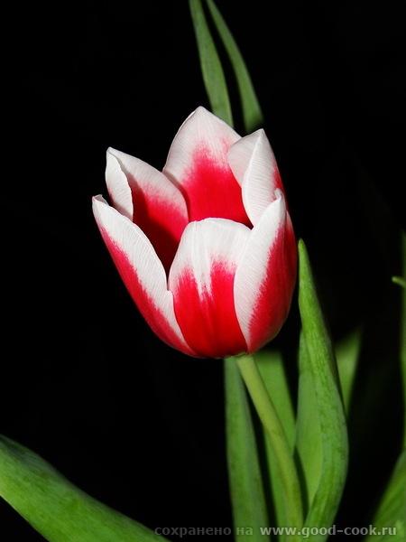 тюльпаны, красота
