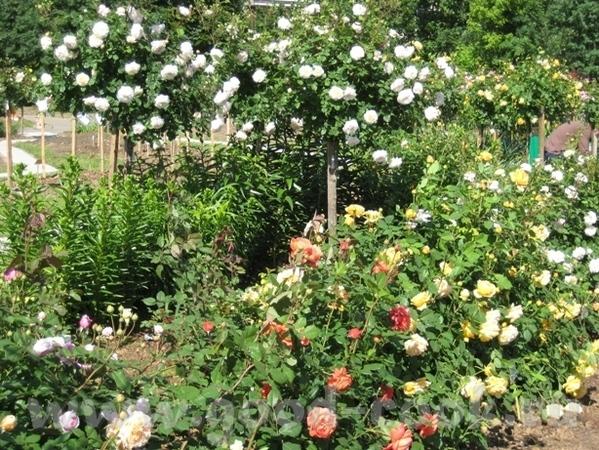 Покажу вам ещё немного цветов рядом со своим домом - 3