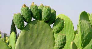 А вот кактусы которые мы кушаем,называются саббара: обламываются все колючки на кактусе,потом разре...