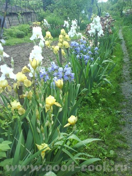 Немного нашей весны: расцвели ирисы