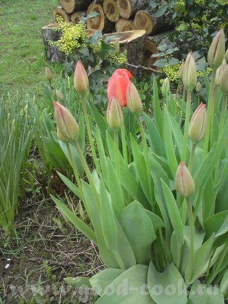Немножко тюльпанов: И - пионы - наготове - 2