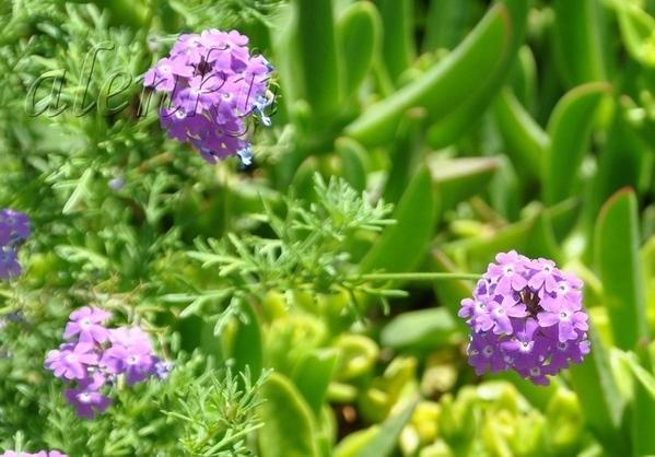 Здесь и красивые кусты бугенвиллий и каперсов,заросли кустарников соланума и лантаны - 5