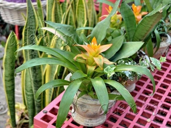 И растения других видов Тилландсия - 4