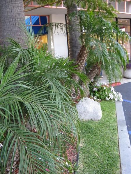 Прекрасный Гибискус растет как кусты везде, самое интересное что стригут его как кусты или газон, о... - 8