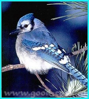вот фото канадских птичек ещё раз пошлю - 2