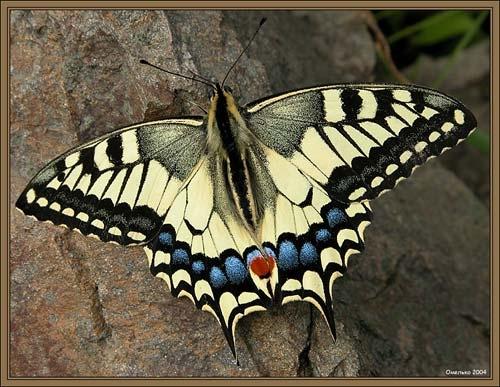 У бабочек спинки другие,и носик клювиком видно - 2