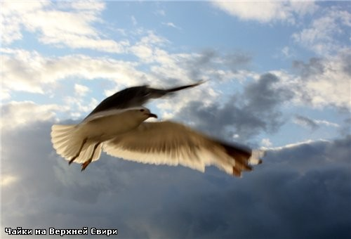 А кто захочет посмотреть на эти пируэты и кульбиты птичьи полностью - зайдите сюда: Чайки на Верхне... - 3