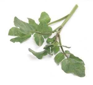 РАШРАД ЭТО Японский салат по русски мизуна = паучья горчица Нежные листья и приятный, острый аромат - 2
