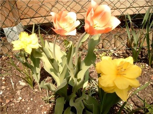 На имеющемся кусочке земли распустились первые тюльпаны(жёлтые на солнце вывернулись совсем) нарцыс...