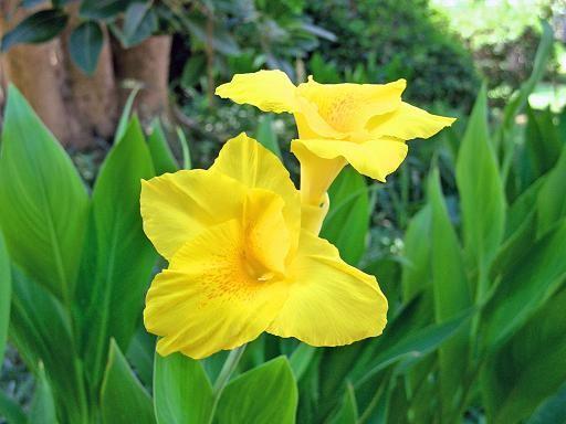 А я вам из Турции привезла Гибискус Цветы канны (спасибо Vetka) И ещё цветочек не известной породы - 2
