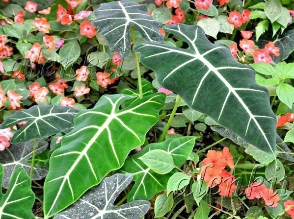 Гуляя по дорожкам парка среди тропической зелени, цветов , пальм, кокосов, бамбука и папоротников у... - 7