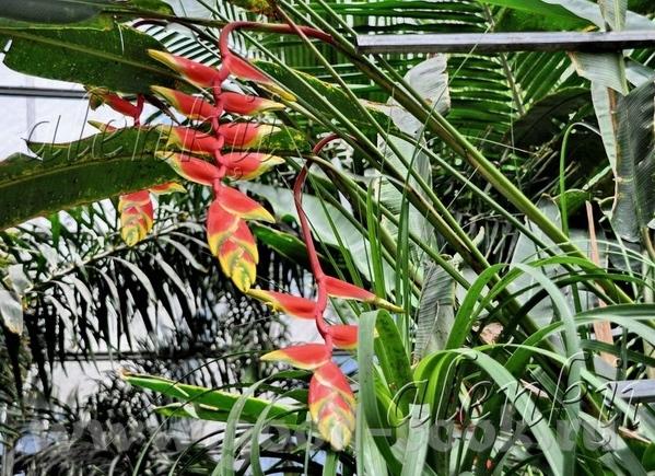 Гуляя по дорожкам парка среди тропической зелени, цветов , пальм, кокосов, бамбука и папоротников у... - 8