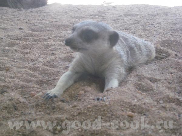 И так, Южно Африканские млекопитающие из семейства мангустовых - 5