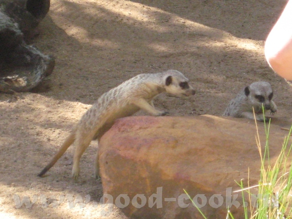 И так, Южно Африканские млекопитающие из семейства мангустовых - 3