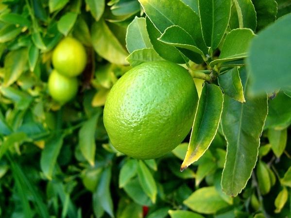 Дворик Кругом зеленые ещё лимоны И Лара с лимоном Нам сначала накрыли стол (принесли по 4 стакана,... - 3