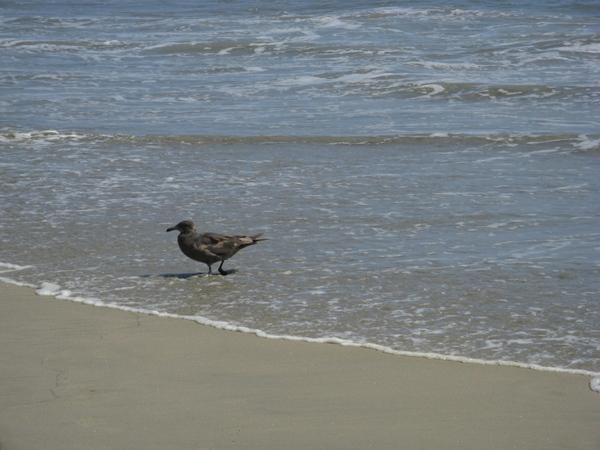 черные и серые чайки водоросли в виде Бoа - 2