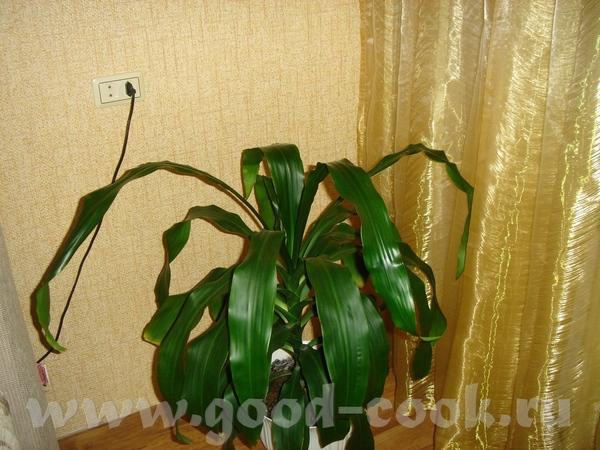 Извините исправляюсь, я первый раз фотографирую и отправляю фото Карделина моя не цветущая орхидея,... - 3