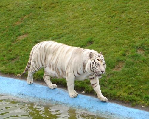 Ну и знаменитые белые тигры, львов мы чего то не щелкнули, дождь сильный пошел - 2