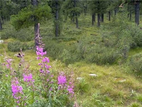изящные синие цветы горечавка Иван чай - полезное растение - 2