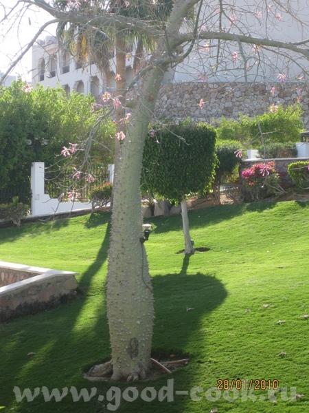 А это очень интересное дерево, его ствол полность покрыт толстыми шипами, на нем ни одного листика,... - 3