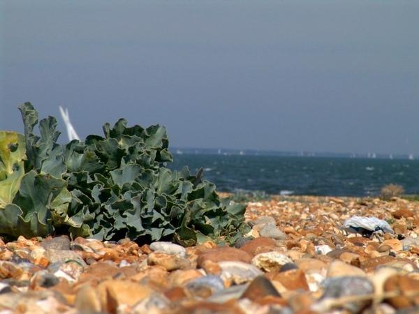 Пляжная капуста с рогами