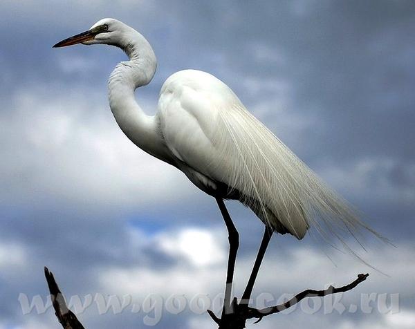 Если этo тебе поможет- лови ещё Большая белая цапля (не аист)- Great White Heron ------------------...