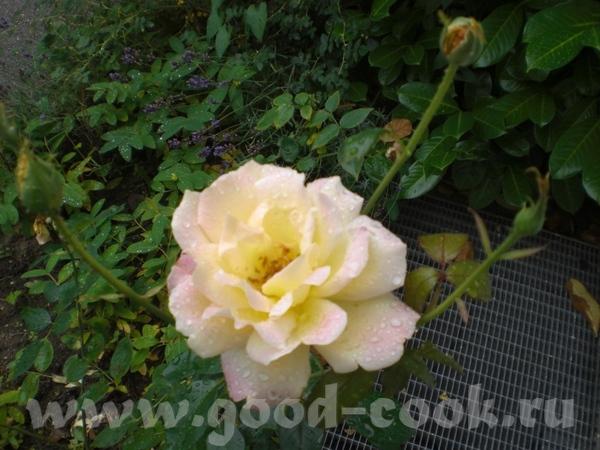 Цветет рододендрон: Возде дома расцветают розы: Вечное и прекрасное небо: - 4