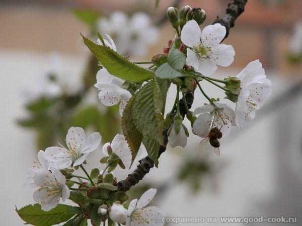 черешня с пчелкой