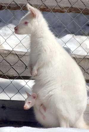 Эта новорожденная кенгуру-альбинос по имени Канберра несколько недель назад родилась в зоопарке Кер...