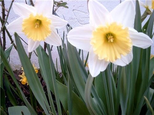 На имеющемся кусочке земли распустились первые тюльпаны(жёлтые на солнце вывернулись совсем) нарцыс... - 2