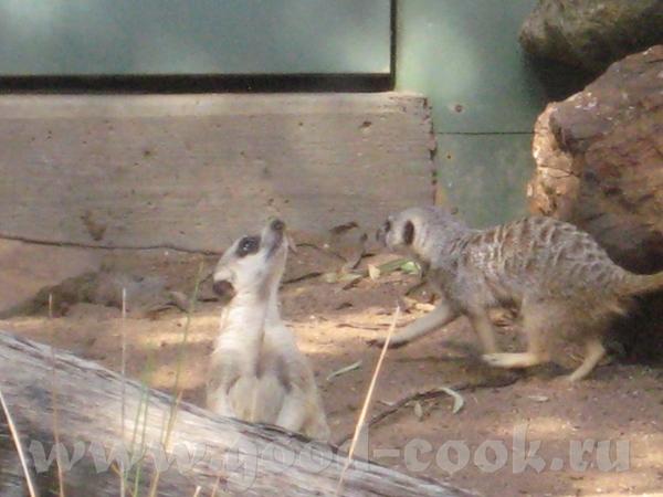 И так, Южно Африканские млекопитающие из семейства мангустовых - 2