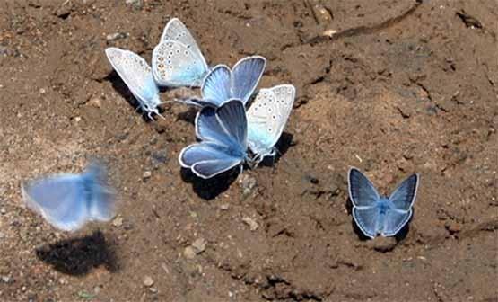Бабочки в дорожной колее