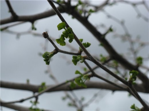 Немного весны, цветущие магнолии разных видов - 5