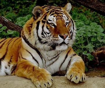 Может кому пригодится для рисунков В основном желтые тигры на календарях к 2010 году, но есть и бел... - 2