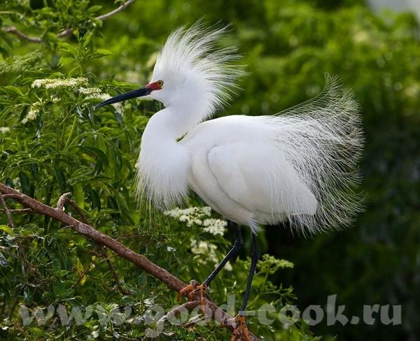 Если этo тебе поможет- лови ещё Большая белая цапля (не аист)- Great White Heron ------------------... - 6