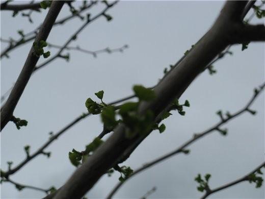 Немного весны, цветущие магнолии разных видов - 6