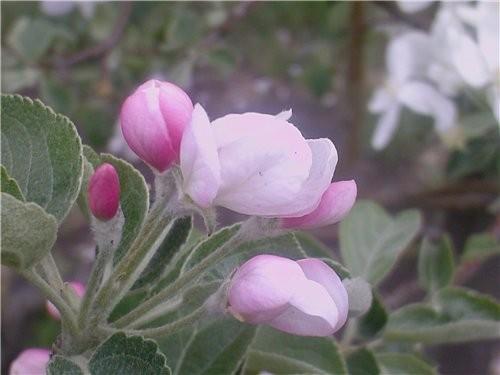Сибирь богата на фрукты:здесь выращивают и растут не только цветы но и розы, яблоки и груши, абрико...
